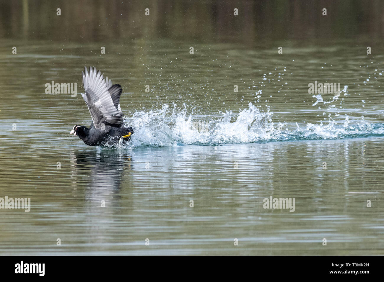 Two coots (fulica atra) running in unison and showing aggressive fighting territorial behaviour in early spring Stock Photo