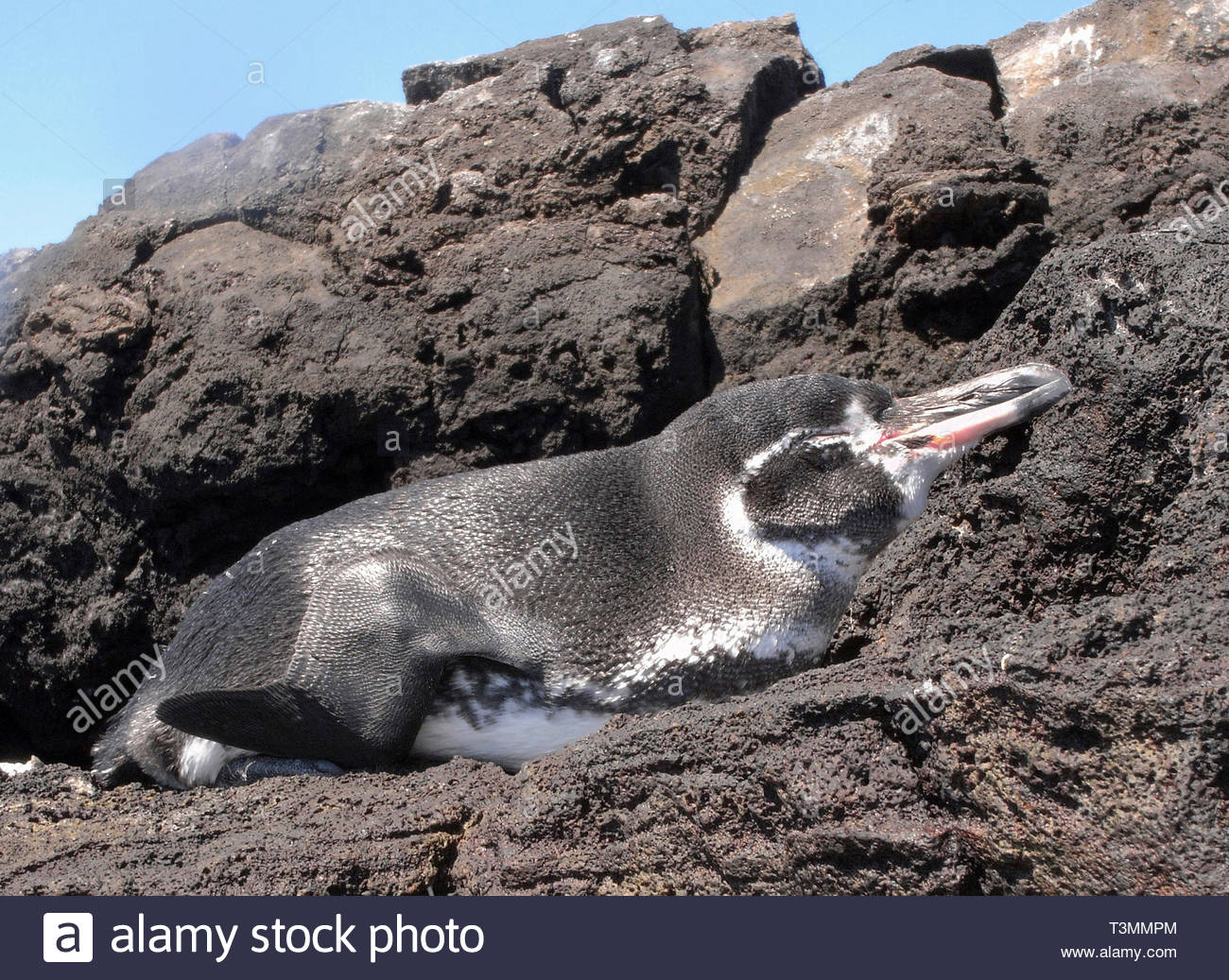 Galapagos Penguin (Spheniscus mendiculus), sleeping at rocky coast, Bartolome island, Galapagos Achipelago, Ecuador Stock Photo