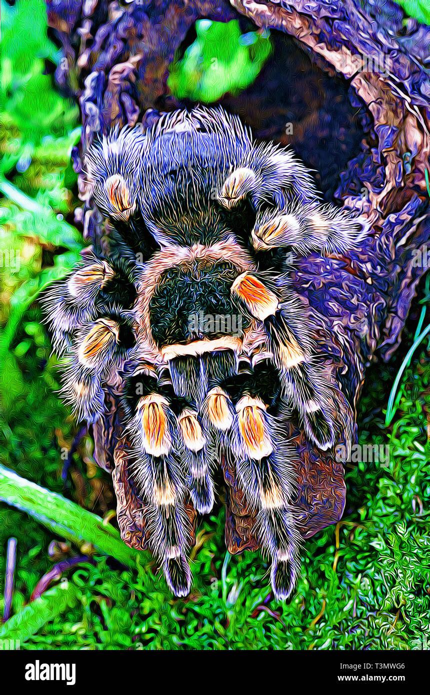 Mexican Red Knee Tarantula (Brachypelma smithi) Digital art filter - Stock Image