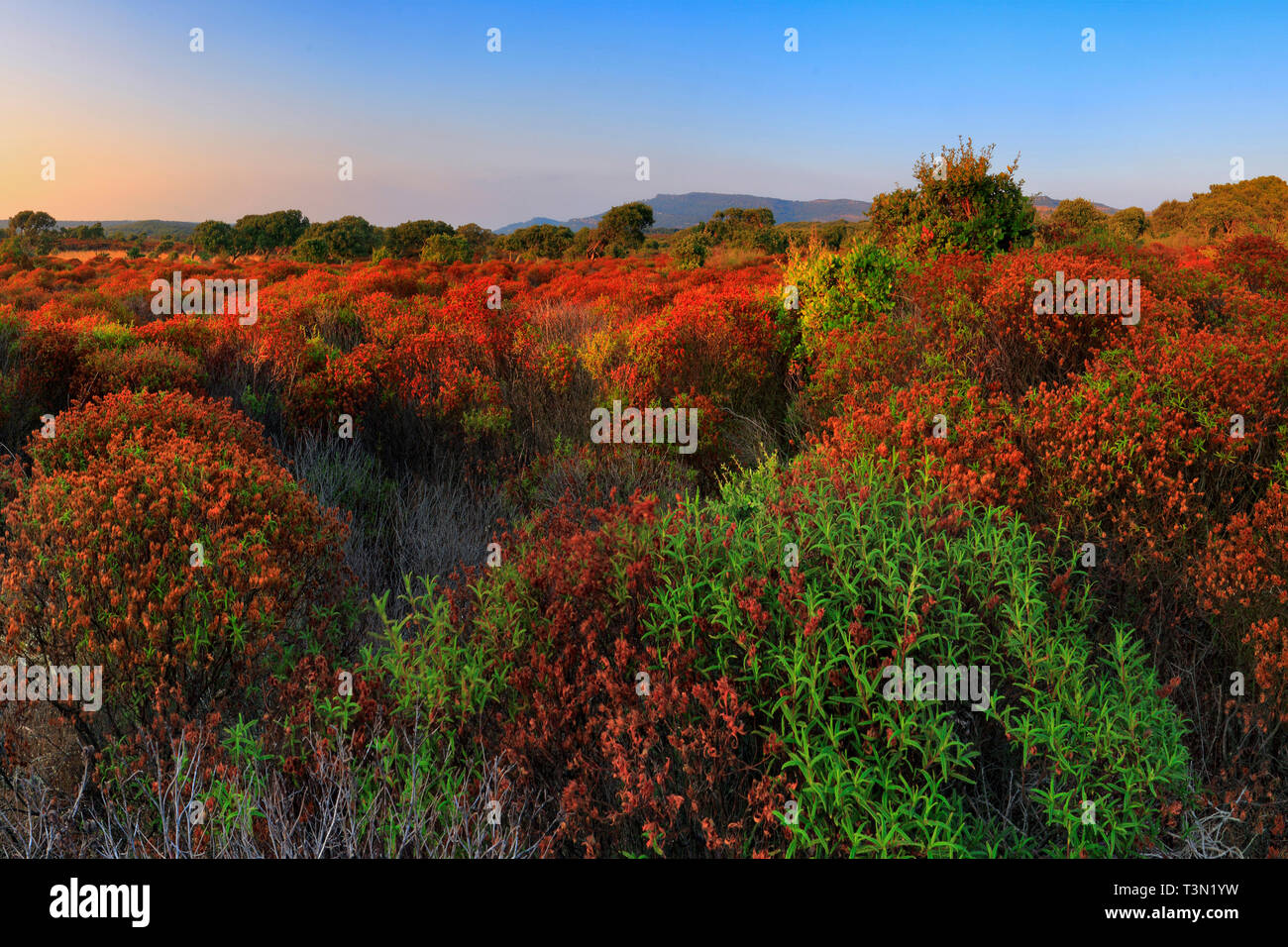 An amazing display of aromatic herbs in the countryside nearby the archeological site of Nuraghe Appiu, Villanova Monteleone, Sardinia, Italy - Stock Image
