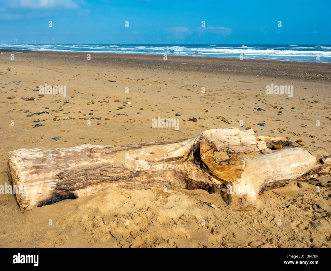 A large piece of driftwood, part of a tree lying on a wide sandy beach on the North Yorkshire Coast with distant wind farm Stock Photo