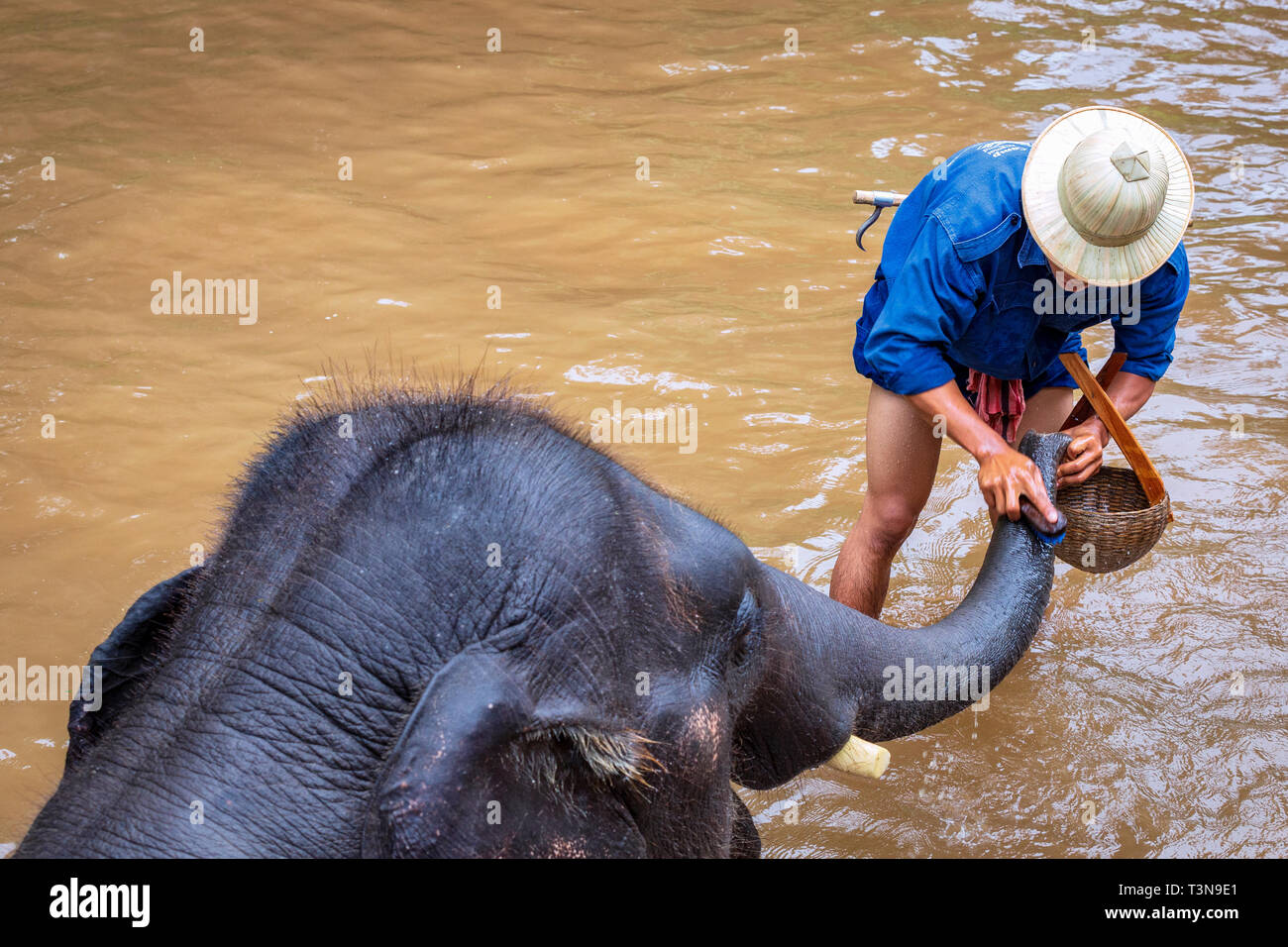 Mahout cleaning a elephant in a river, Chiang Mai, Thailand - Stock Image