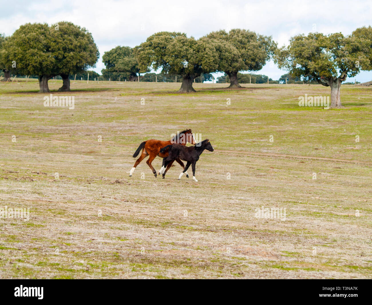 A brown horse and a black colt galloping in the dehesa in Salamanca (Spain). Ecological extensive livestock concept. - Stock Image