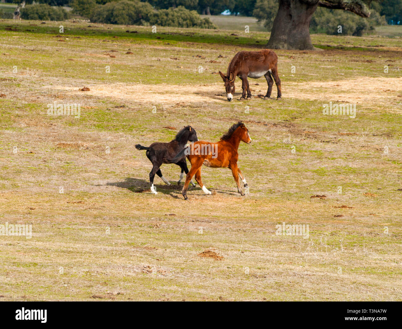 One donkey and a brown horse and a black colt galloping in the dehesa in Salamanca (Spain), Ecological extensive livestock concept. - Stock Image