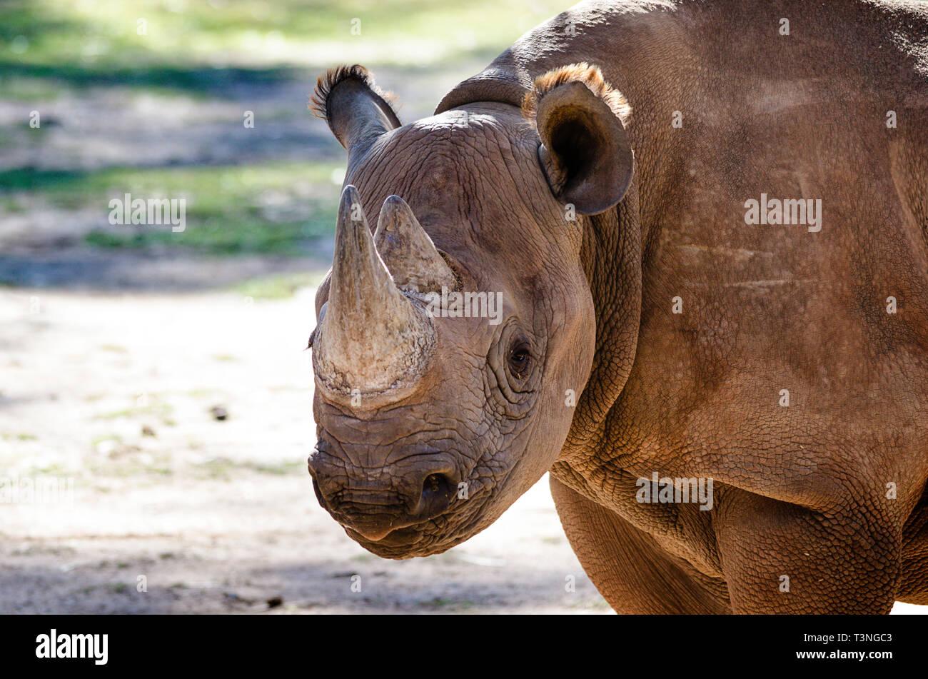 Portrait of White rhinoceros (Ceratotherium simum) - Stock Image