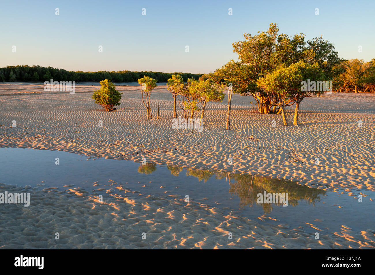 Mangroves growing on sandy tidal flat at Port Smith Western Australia - Stock Image