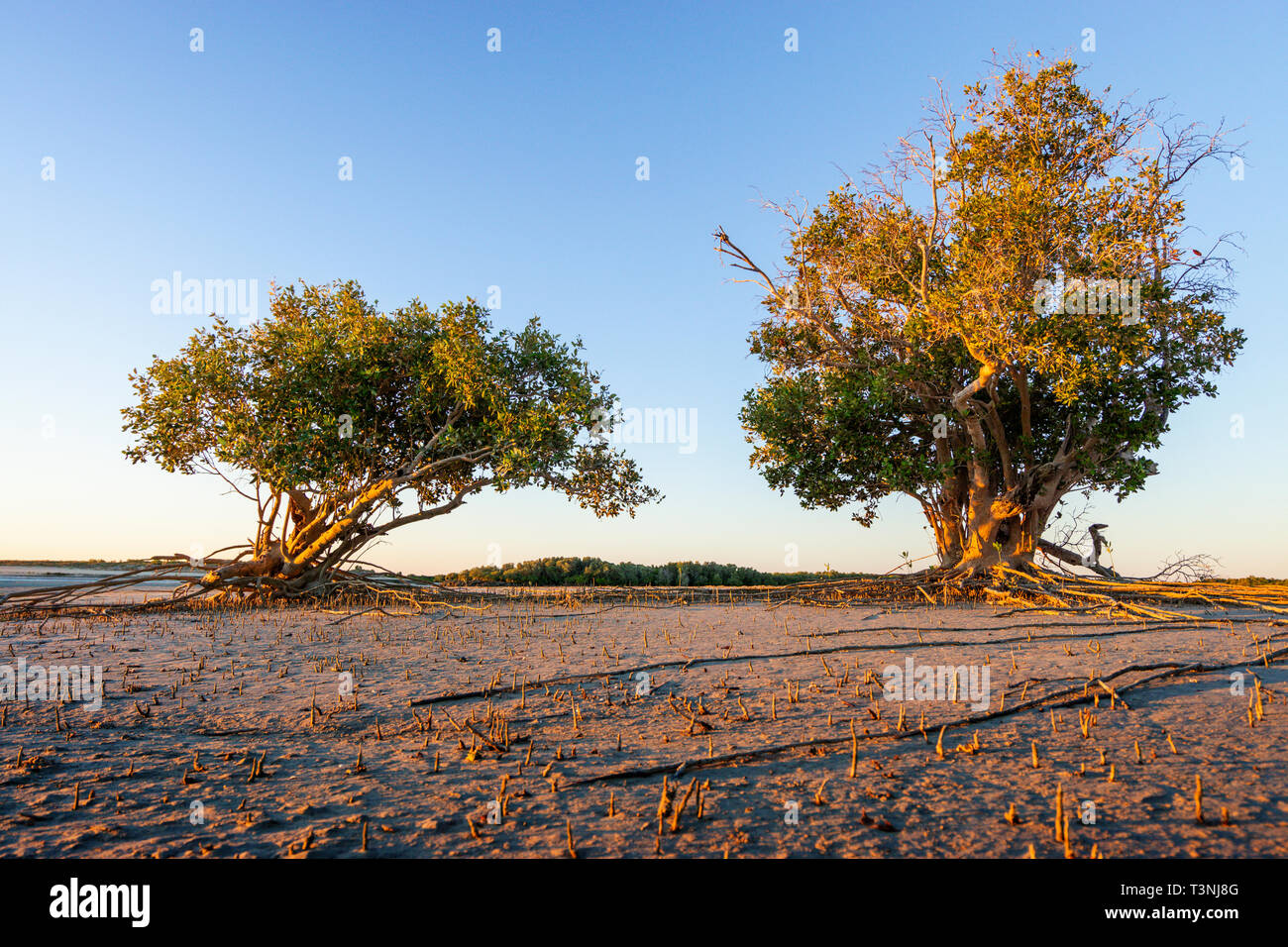 Mangroves growing on sandy tidal flat at Port Smith Western Australia Stock Photo