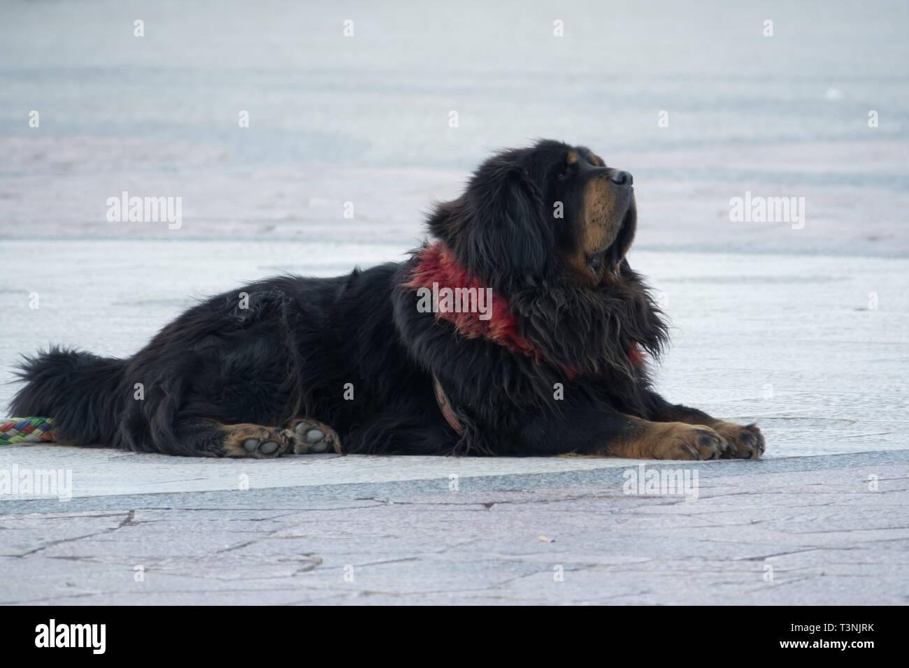 Black Tibetan dog on ground pet of Tibet people - Stock Image