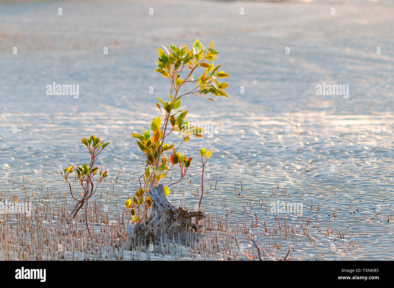 Young mangroves growing on sandy tidal flat at Port Smith Western Australia Stock Photo