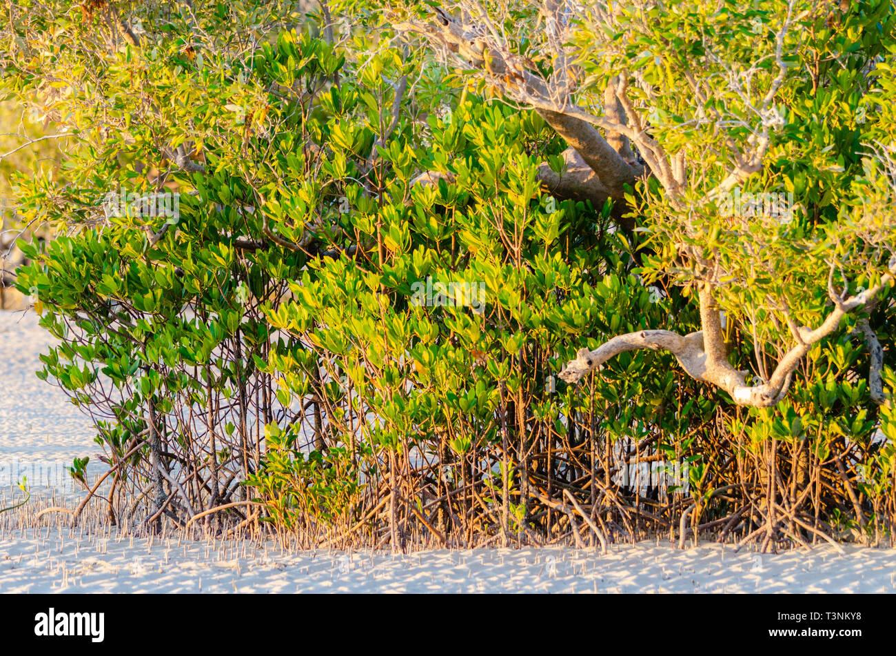 Stilt-rooted mangrove (Rhizophora stylosa) growing on sandy tidal flat at Port Smith Western Australia - Stock Image