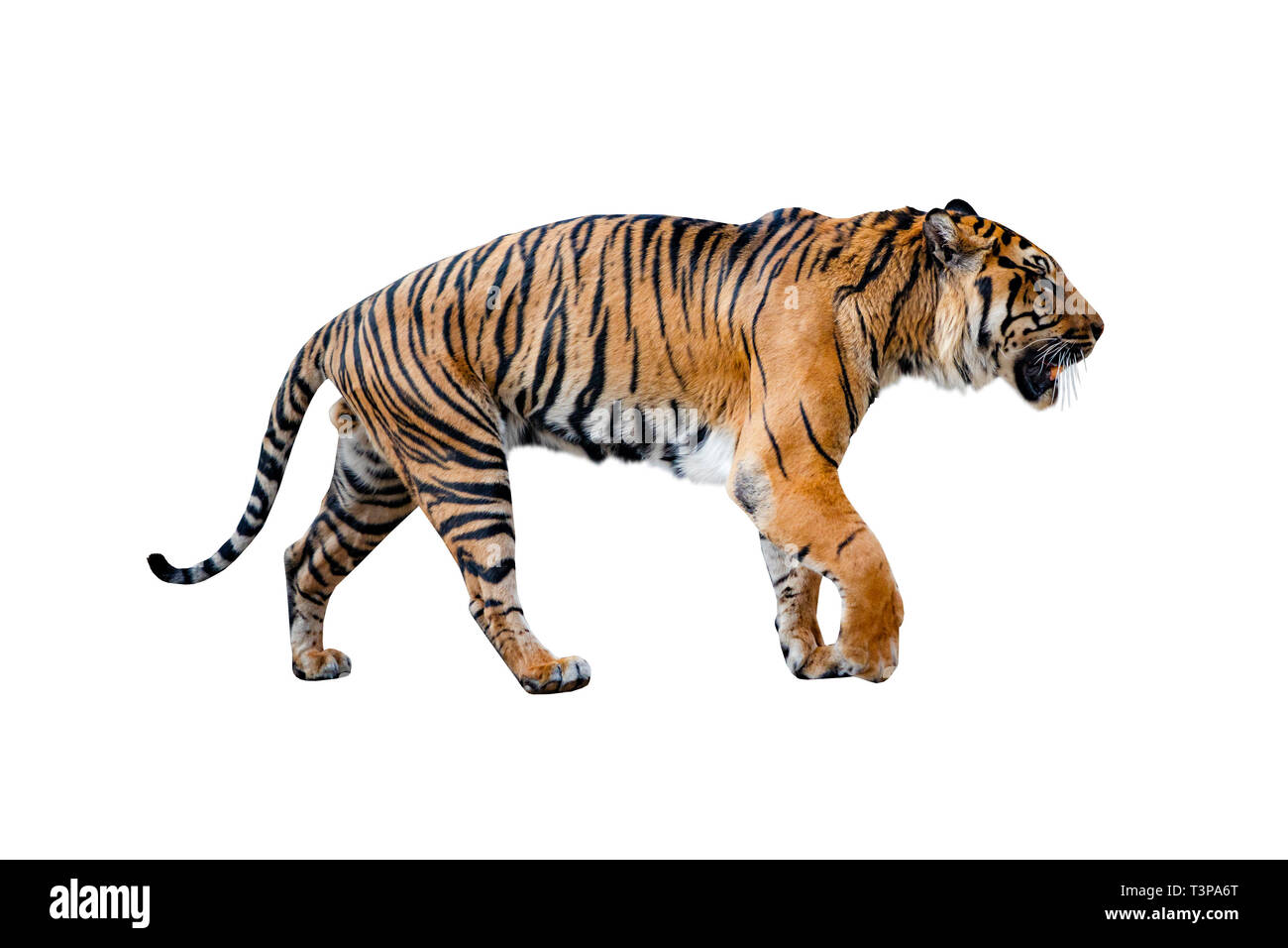 Close uo of tiger isolated on the White background. - Stock Image