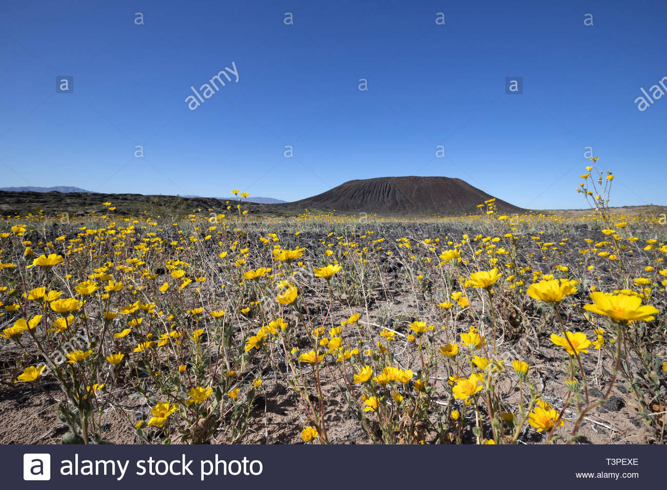 Desert Sunflower blooming in Amboy Crater, Mojave Trails National Monument, CA - Stock Image