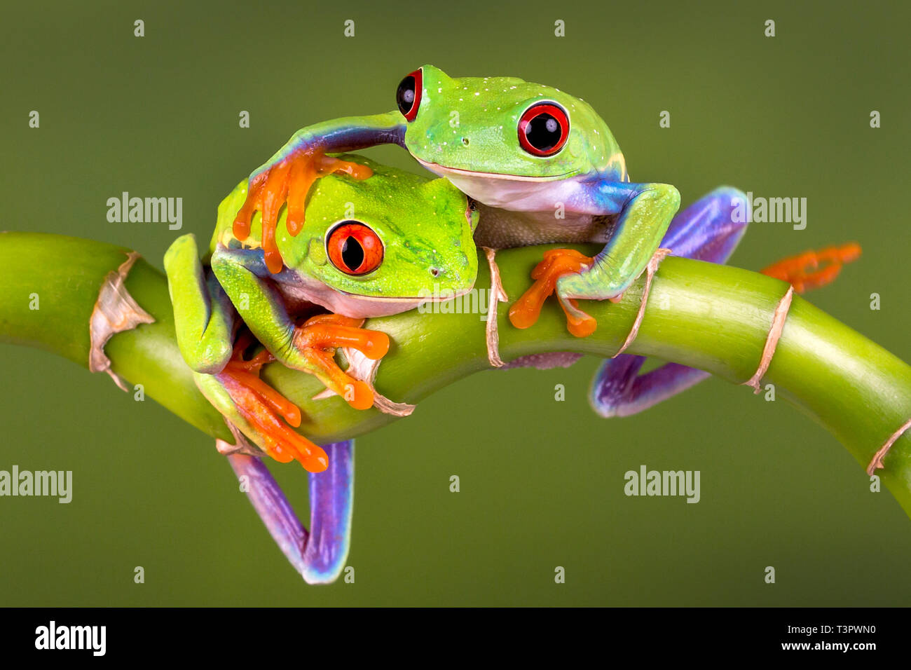 Two Red Eye Tree frogs - 'Best of Friends' or for a 'Get Well' card or a Valentines Day card - space to add hearts.With Release. - Stock Image