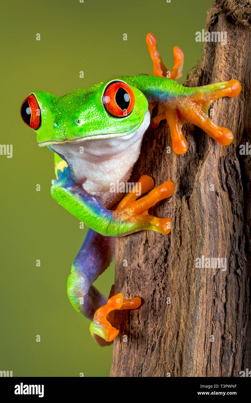 Red eyed Tree Frog on the lookout !  With Release. - Stock Image