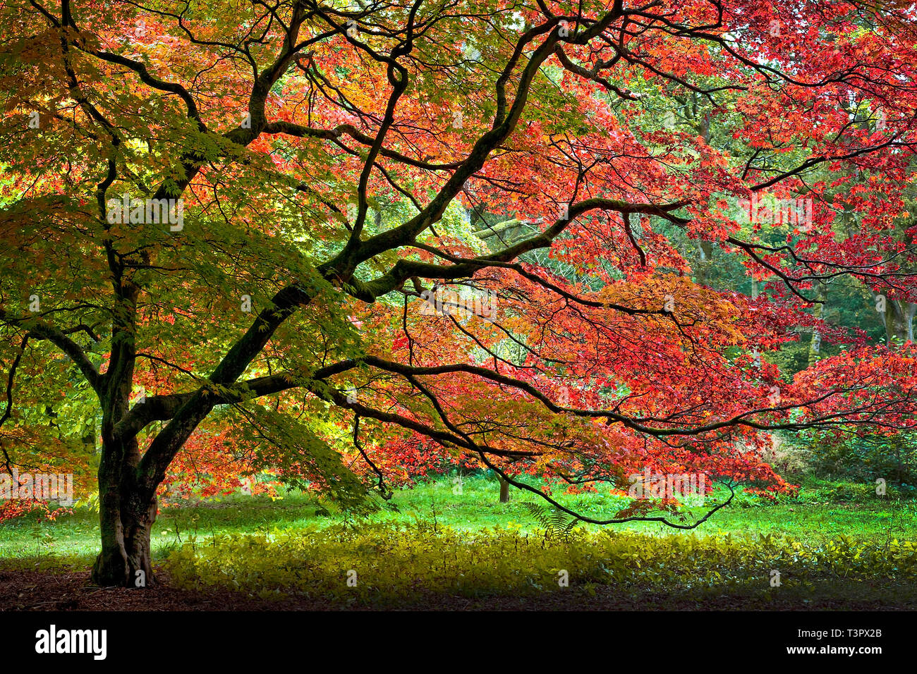 A Japanese Maple in Autumn at the Westonbirt Arboretum UK. Stock Photo