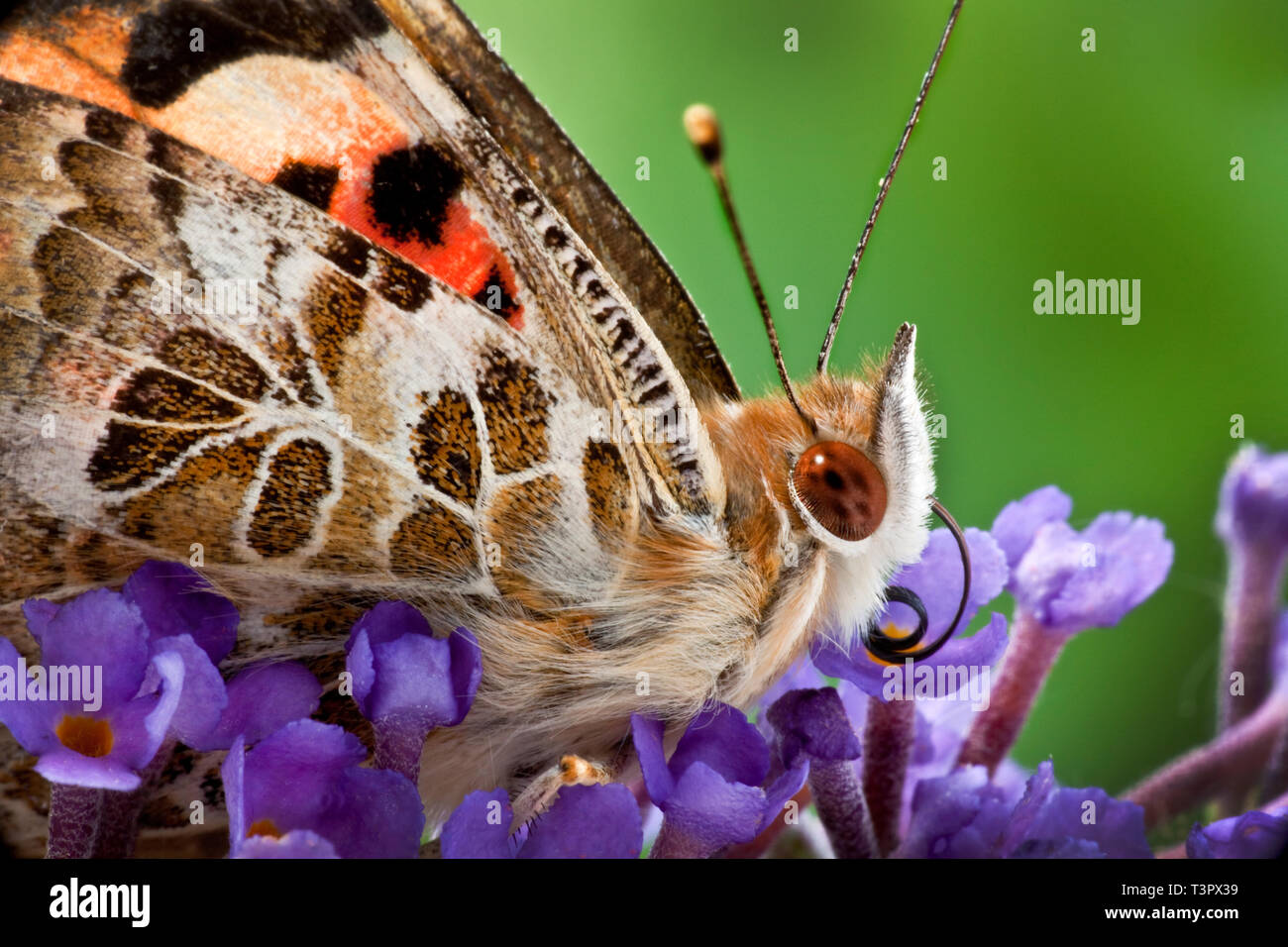 Macro close up of a small tortoiseshell butterfly  on budlea flowers. - Stock Image