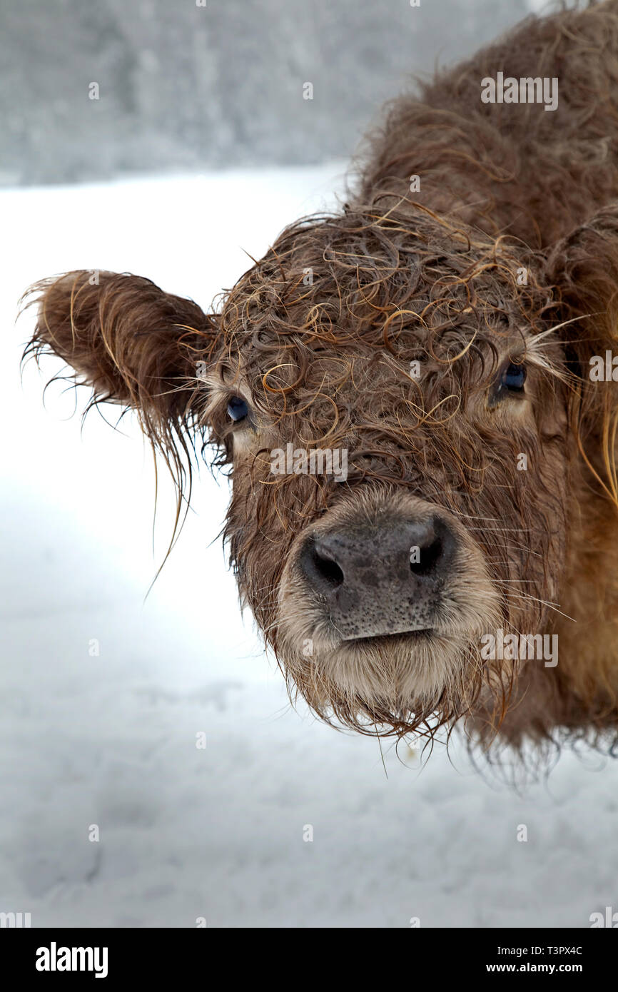 A wet curly haired cow in winter snow saying good morning. - Stock Image