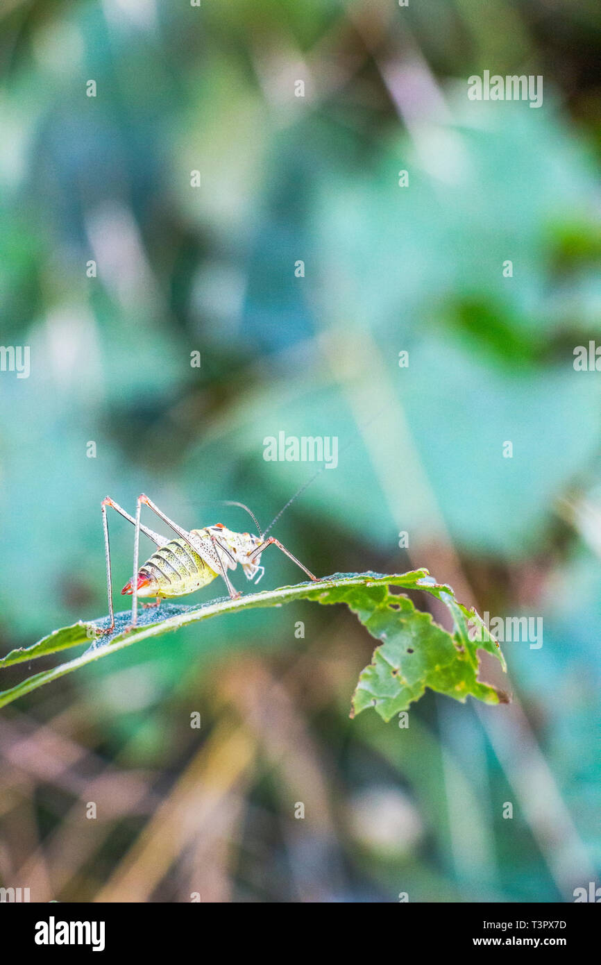 Close side view of a saddle-backed bush cricket, Ephippiger ephippiger on a damaged ragged lime tree leaf, blurred natural background, selective focus Stock Photo