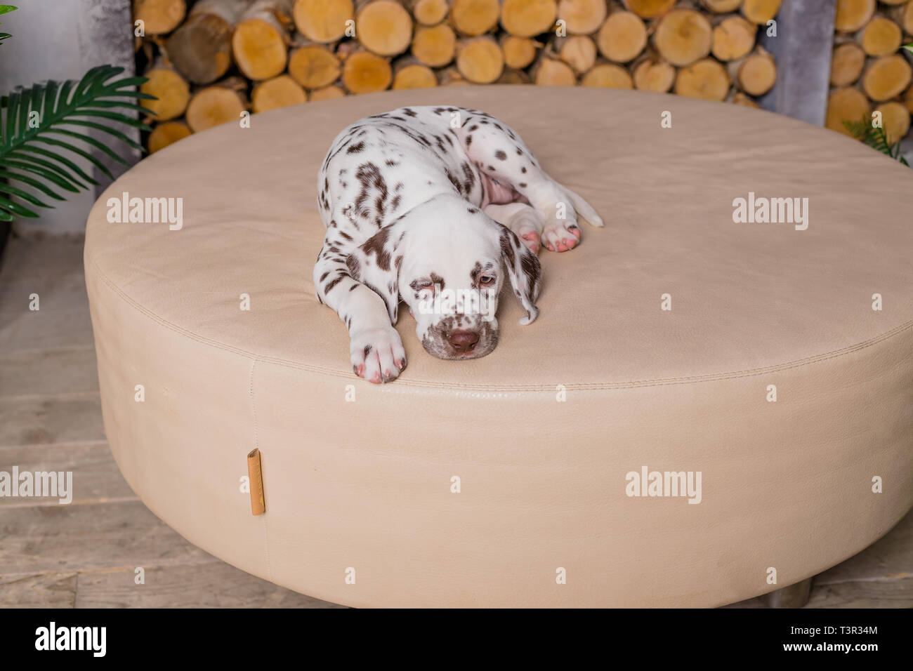 four months old Dalmatian sleeping. Small dog sleep in the house.Cute puppy relaxing on the soft blanket - Stock Image