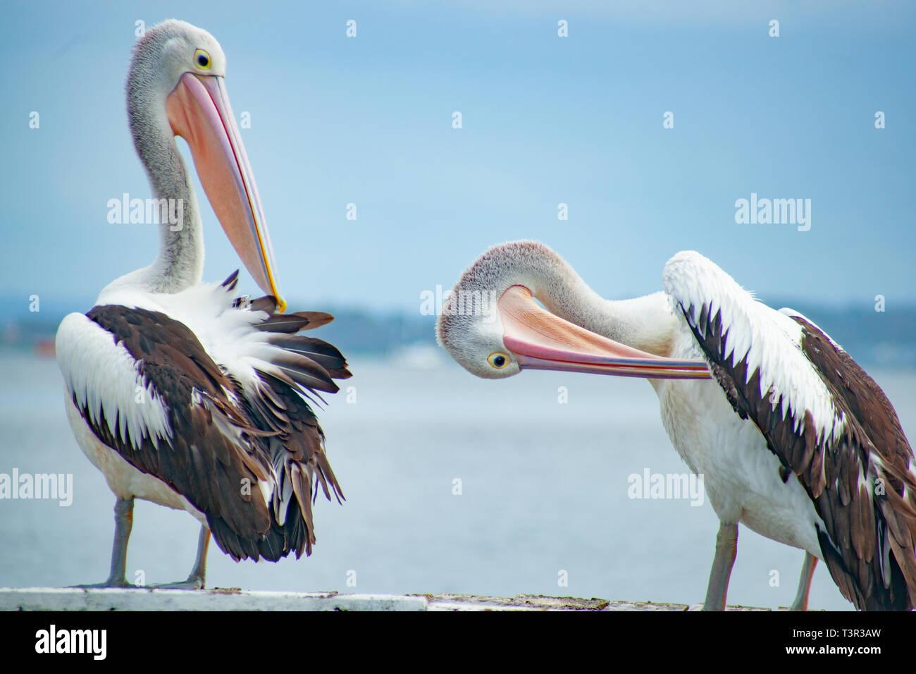 Pelecanus conspicillatus, Australian pelican standing on pier Stock Photo