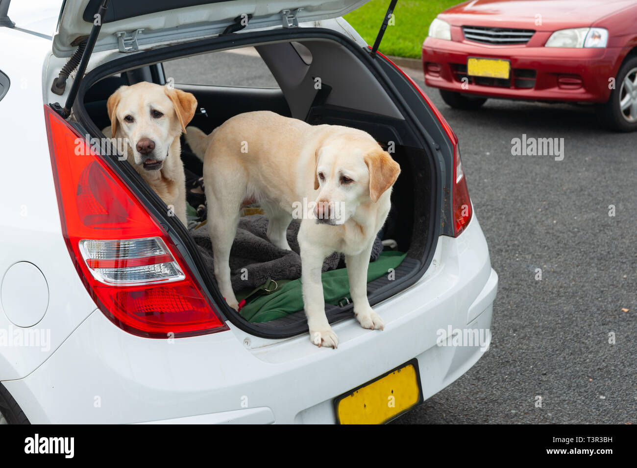 Two large dogs standing in open boot of car, obdiently waiting. - Stock Image