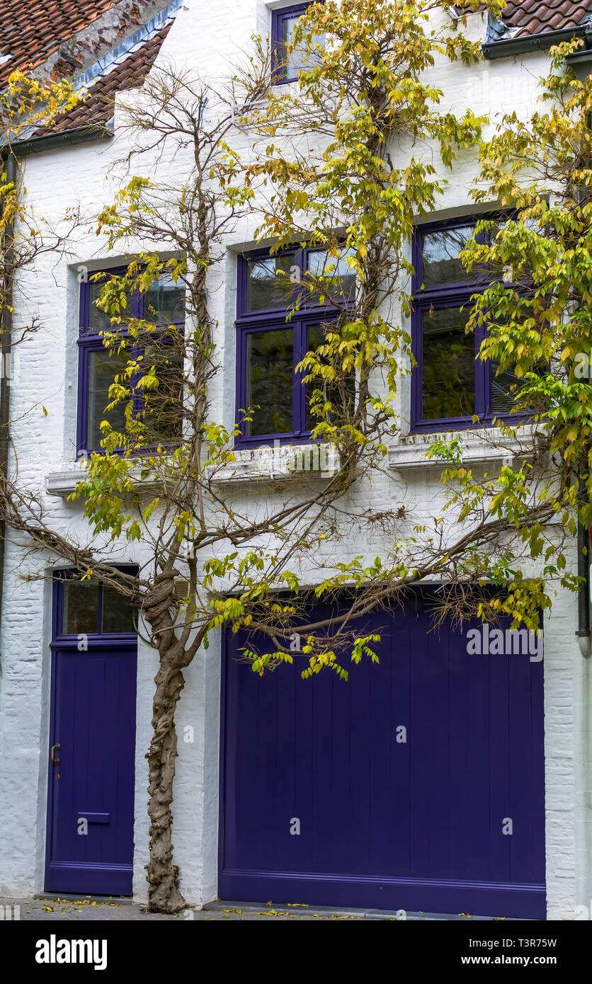 Impressing tree growing around sharply white medieval house with brightly navy blue windows, door and garage door found on one of the Bruges streets - Stock Image