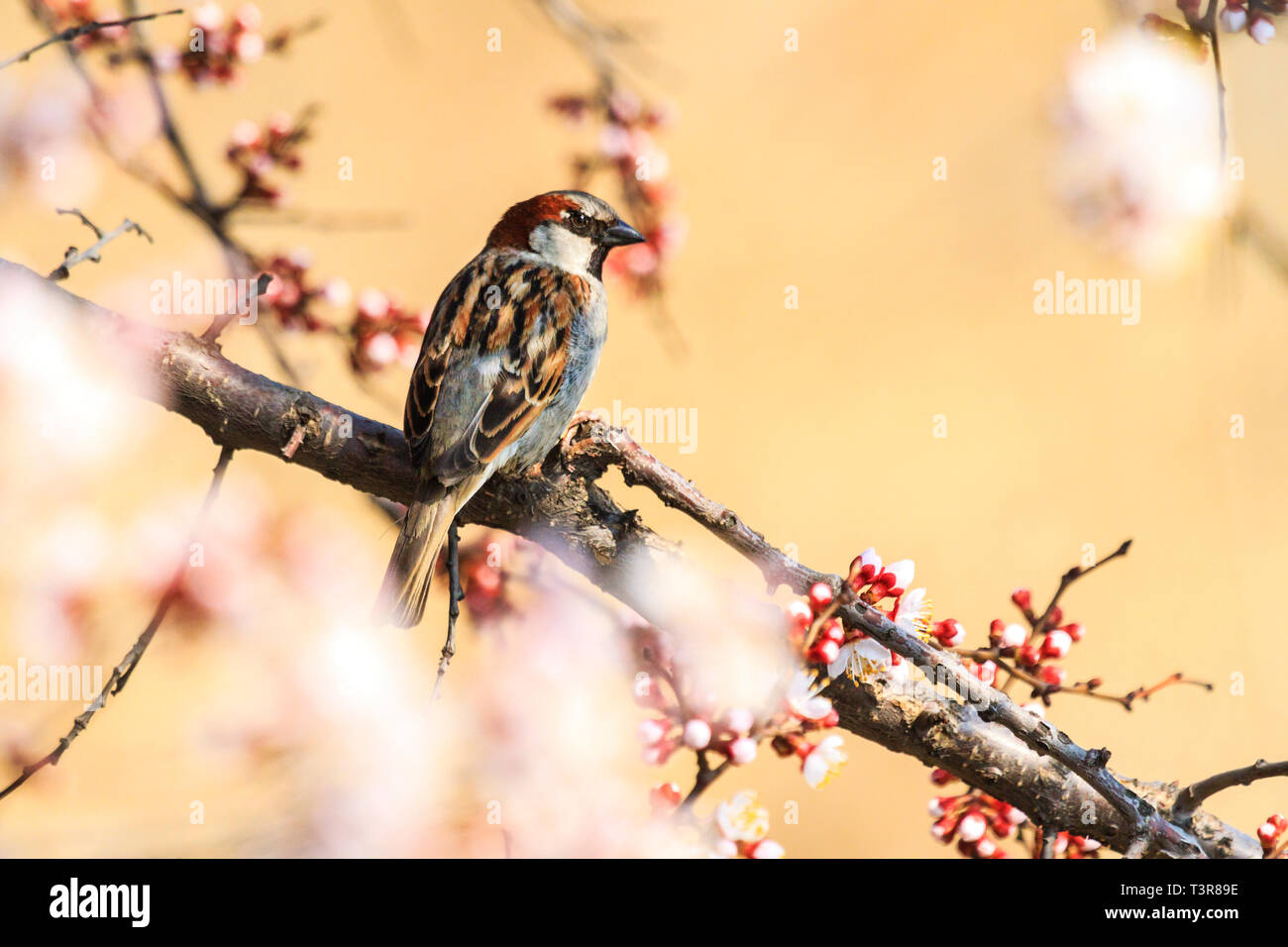Beautiful Sparrow Sits On A Branch Among The Blossoming Apricot Stock Photo Alamy
