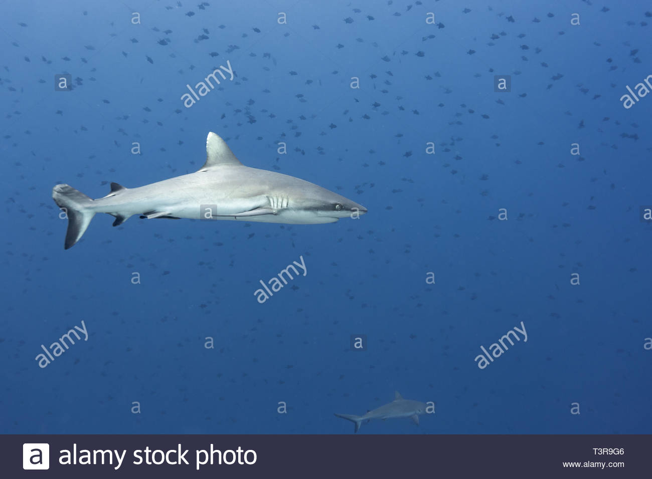 Silvertip reef shark with injuries and scars on tail fin - Stock Image
