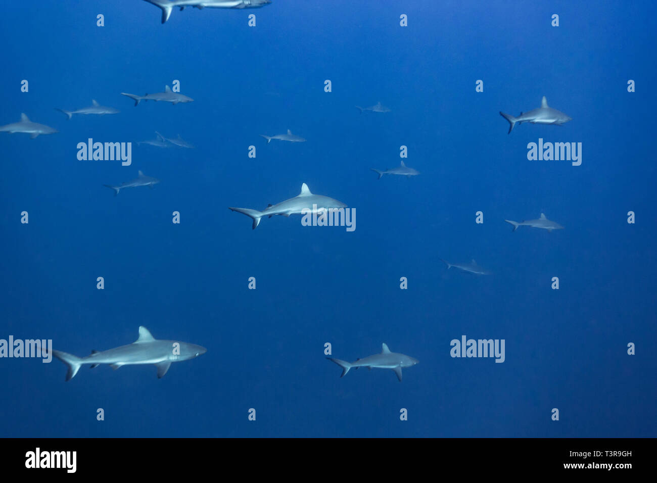 Gam or school of silvertip reef sharksCarcharhinus albimarginatus - Stock Image