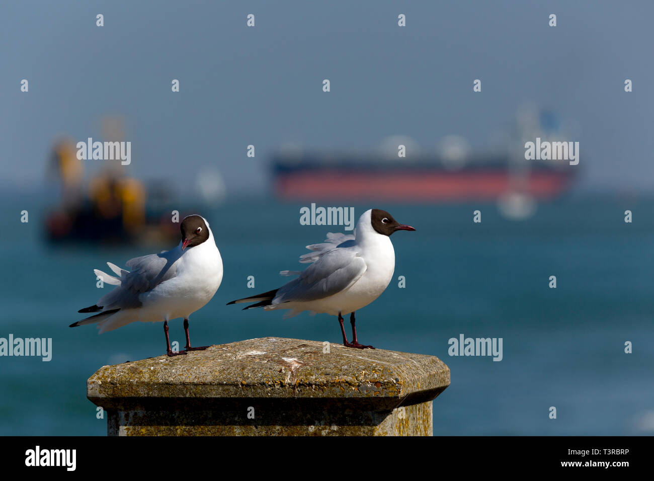 Seagulls,perched,on,seawall,Southampton,services,port,towing,Tanker,Oil,Refinery,Fawley,The Solent,fossil,global,change,warming,tow,assistance,Tug, - Stock Image