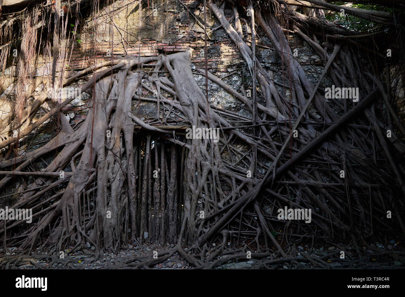 Huge vine root of banyan trees covered building at Former Tait & Co. Merchant House, Popular site featuring Taiwan history exhibits in a former wareho - Stock Image