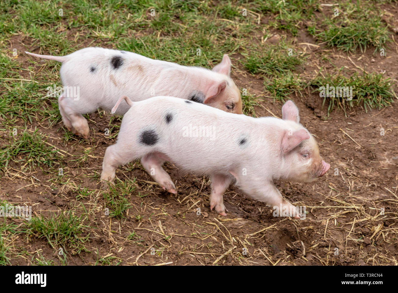 Two you Gloucester Old Spot piglets having a run at Cotswold Farm Park, Kineton, Gloucestershire UK - Stock Image