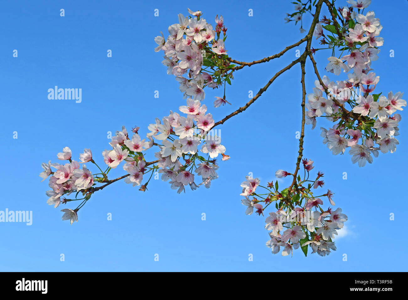Spring Cherry Blossom pink purple and white, on tree branches in Norcott Brook near Hatton, Warrington, Cheshire, North West England, UK, - Stock Image