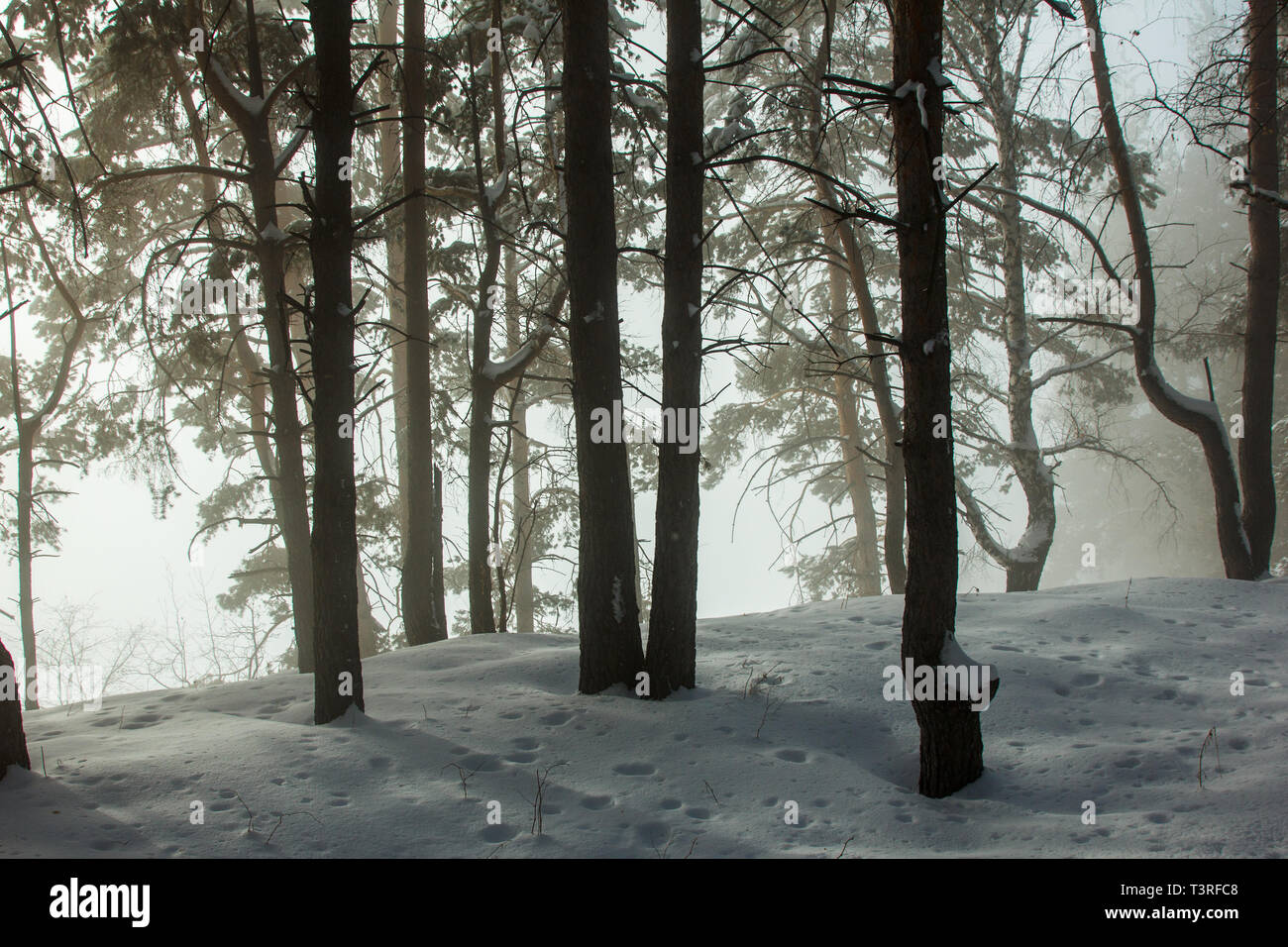 Winter forest in the fog. Mystical landscape. The sun's rays pass through the trees and fog - Stock Image