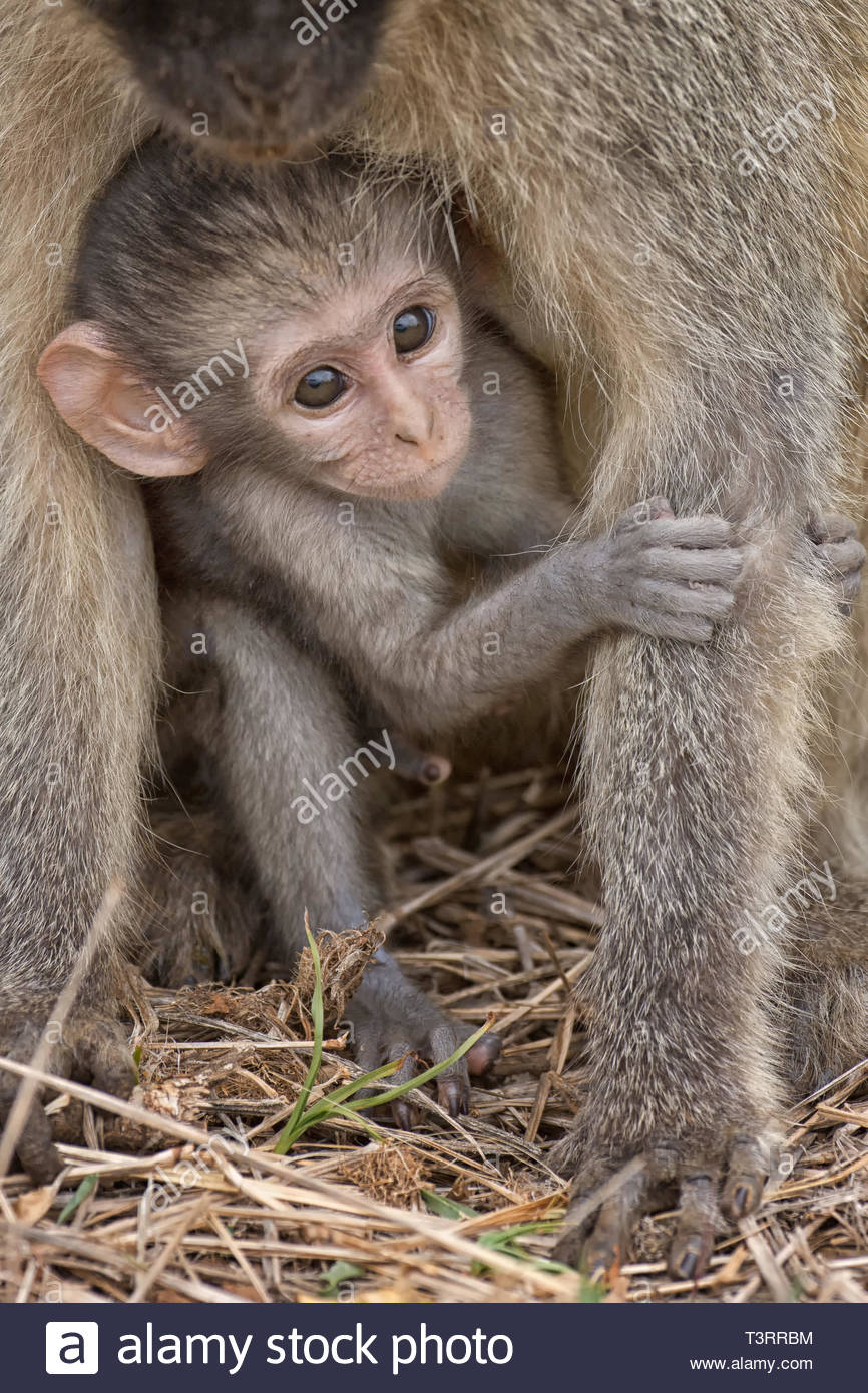 baboon in the park, Tanzania - Stock Image