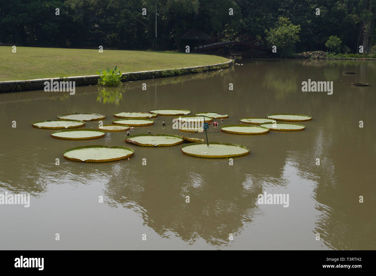 Tropical garden Park with floating water lilies Victoria amazonica) in park in Bogor on Java Indonesia Stock Photo