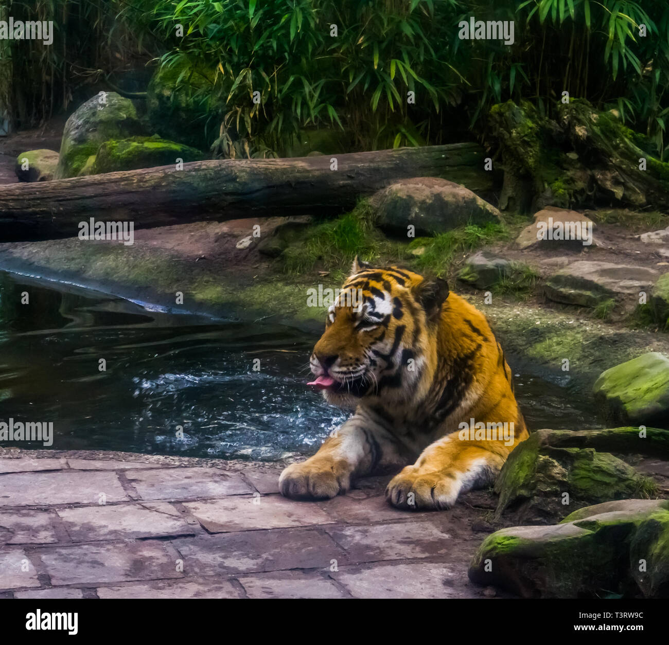 portrait of a siberian tiger bathing in the water, tiger washing its self, animal behavior, Endangered animal species Stock Photo