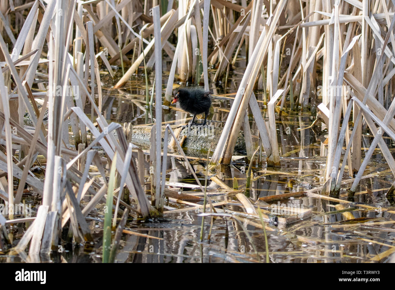 Young moorhen (Gallinula chloropus) duckling  amongst reeds standing on a floating wooden log in early spring sunlight Stock Photo