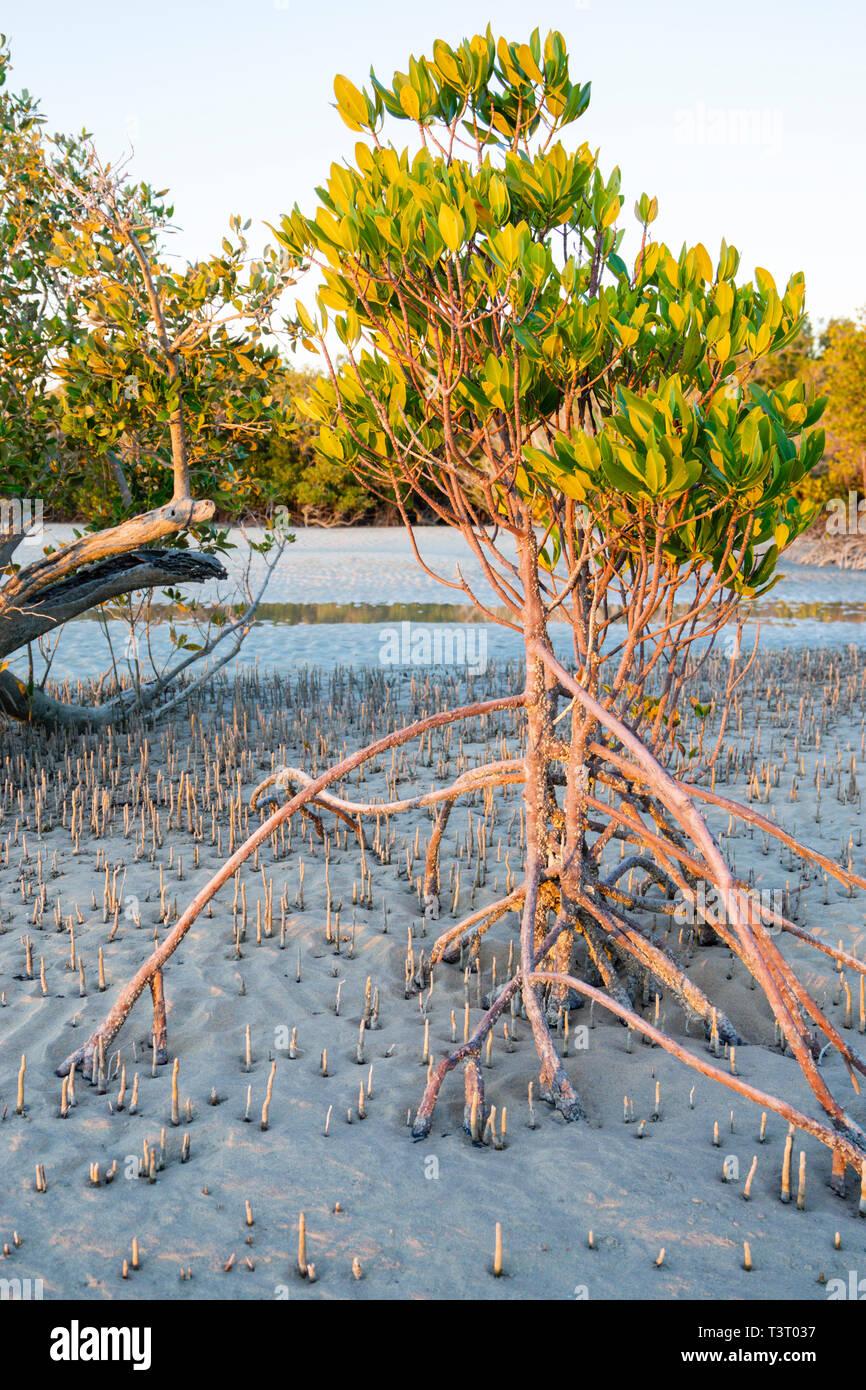 Stilt-rooted mangrove (Rhizophora stylosa) growing on sandy tidal flat at Port Smith Western Australia Stock Photo