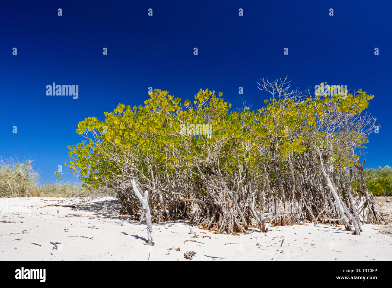 Mangroves growing on sandy beach at upper edge of intertidal zone at Port Smith Western Australia - Stock Image