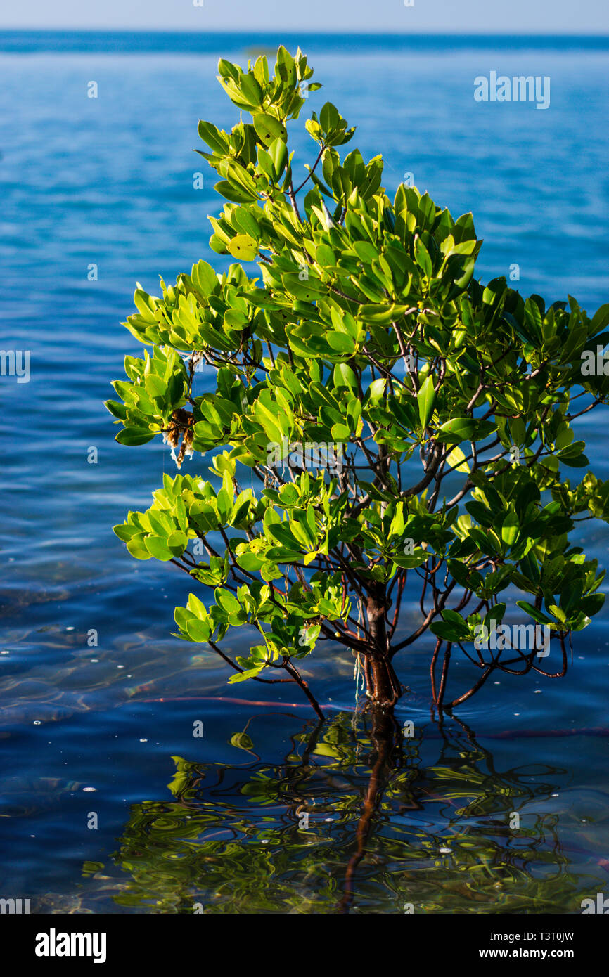 Stilt-rooted mangrove (Rhizophora stylosa) at high tide growing on rocky shoreline Cape Leveque, Western Australia - Stock Image