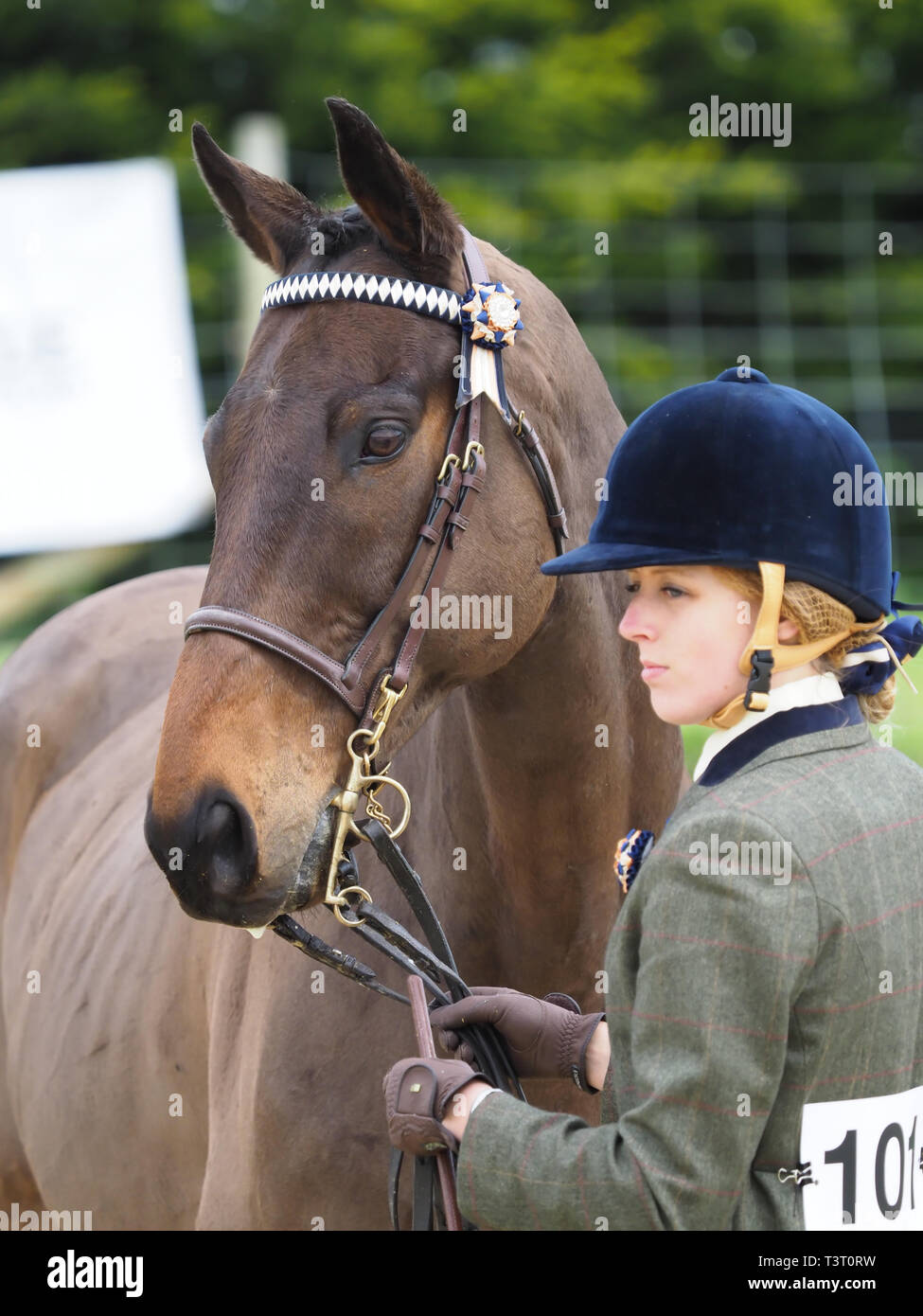 A bay horse and her handler stand in a show ring. - Stock Image