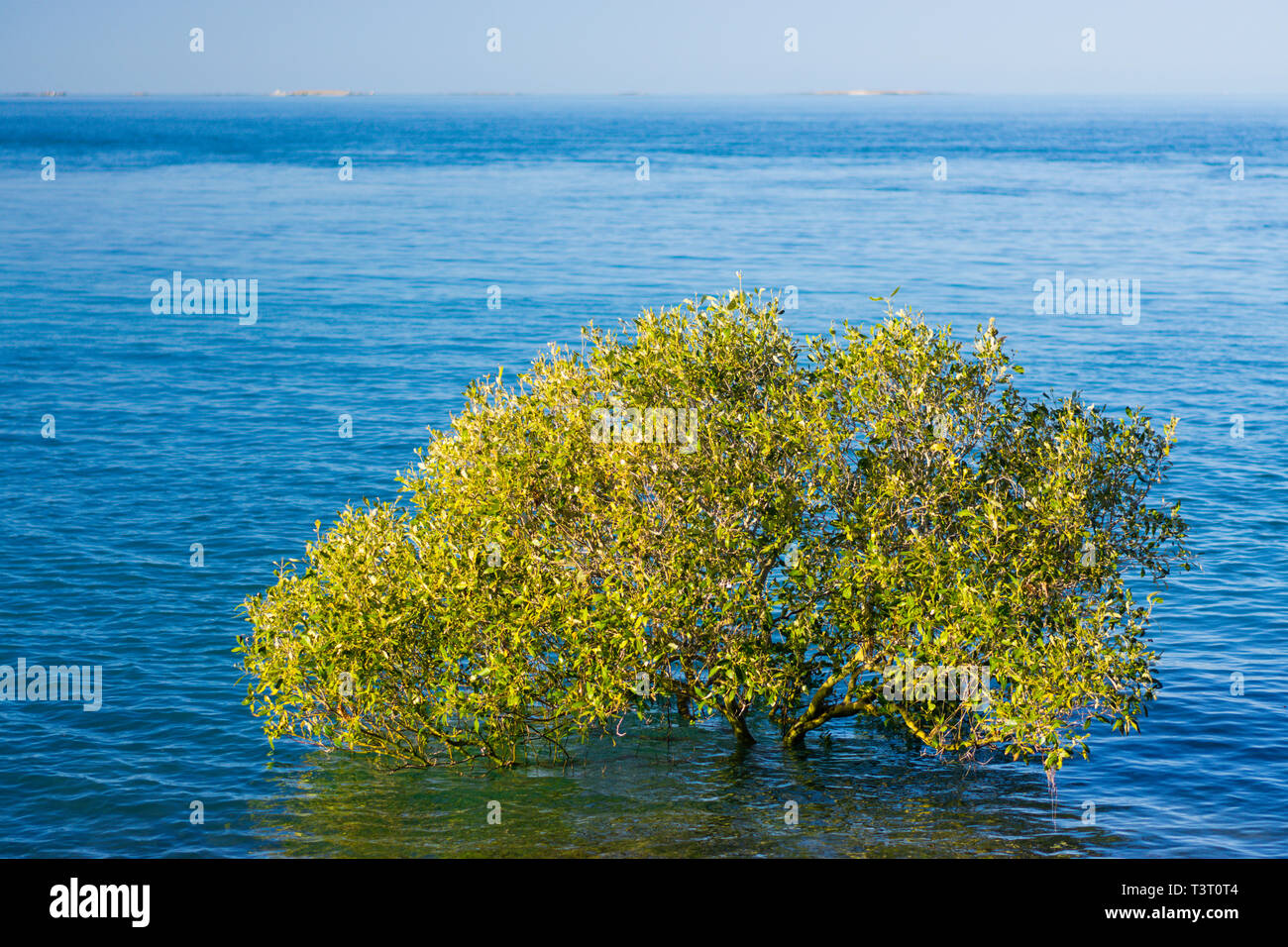 Grey mangroves (Avicennia marina) at high tide growing on rocky shoreline Cape Leveque, Western Australia - Stock Image