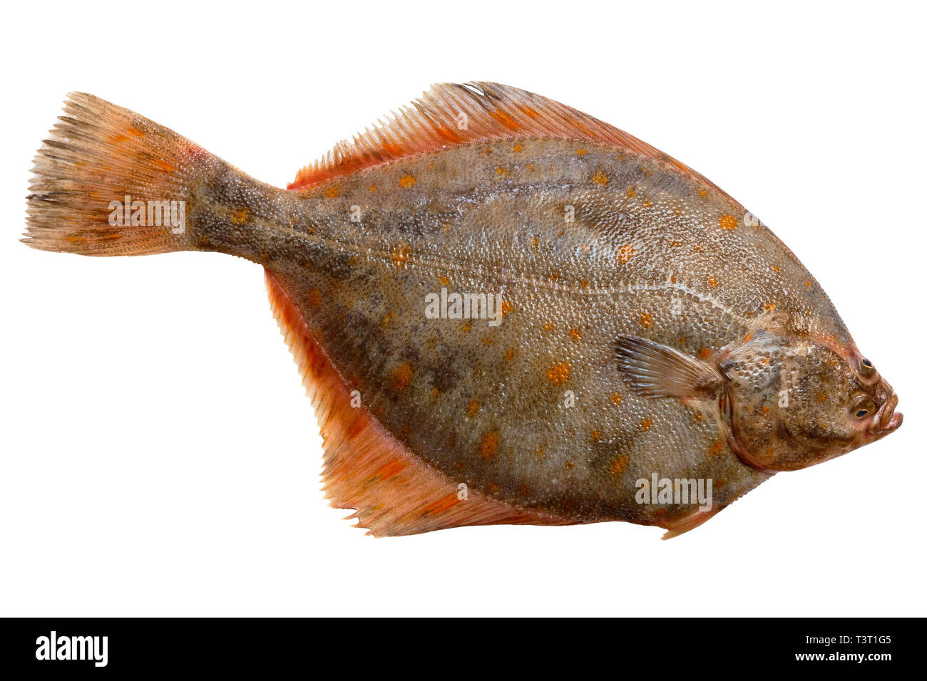 Whole single fresh raw plaice fish on a white background - Stock Image
