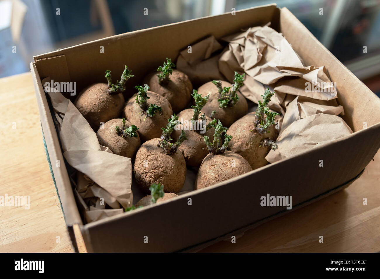 Potatoes sprouting by a  window before being planted out when the soil is warm enough. The pre-sprouting process is known as chitting. - Stock Image