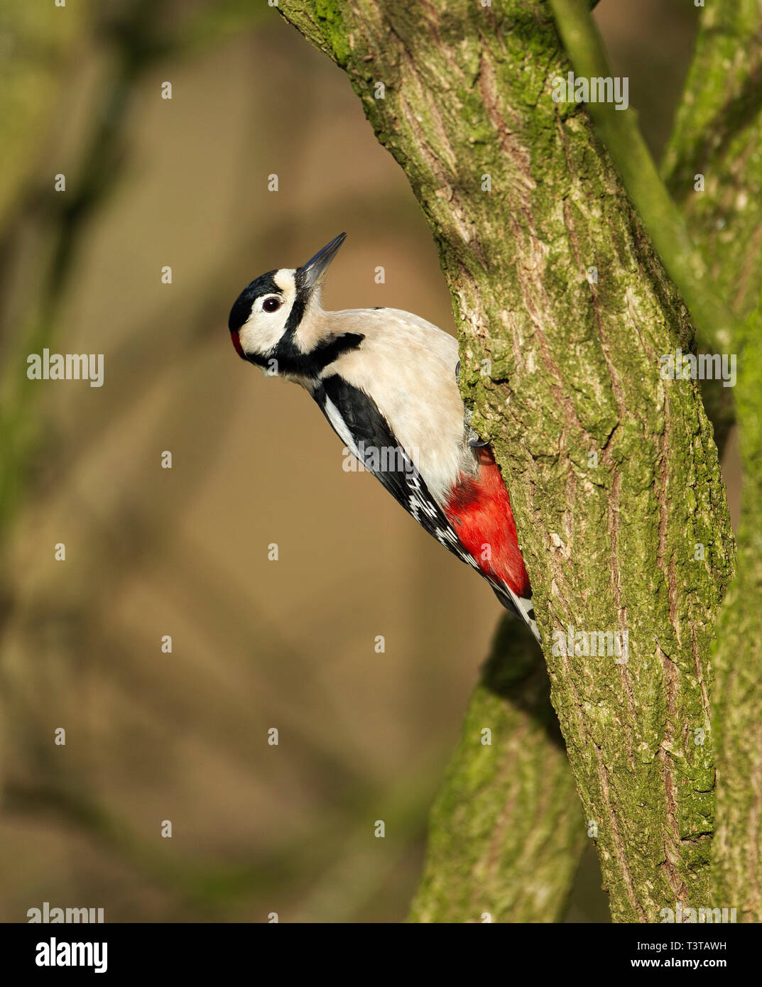 Great Spotted Woodpecker clinging to a thick branch - Stock Image