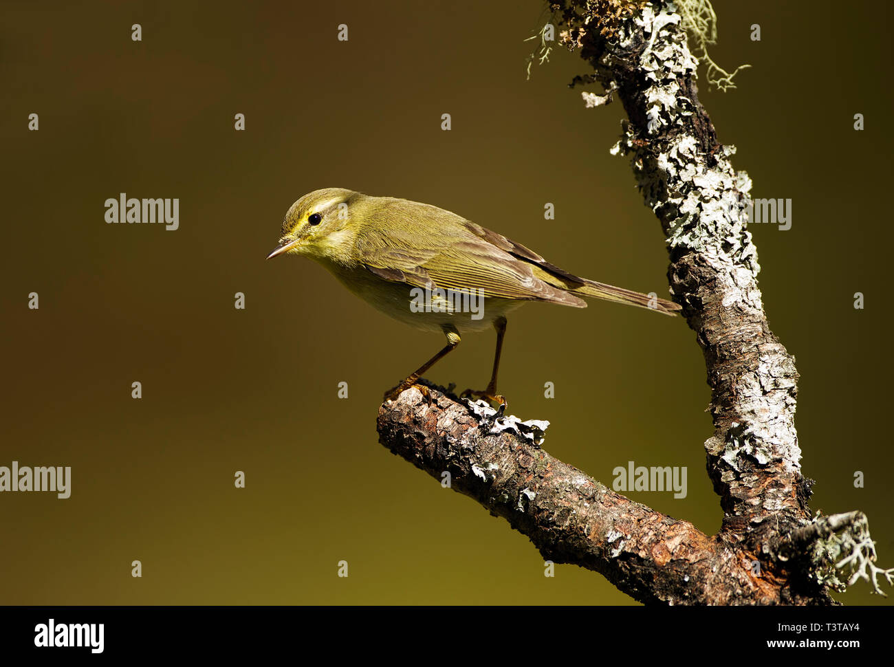 Wood Warbler on lichen covered branch in the Cairngorm National Park Scotland - Stock Image