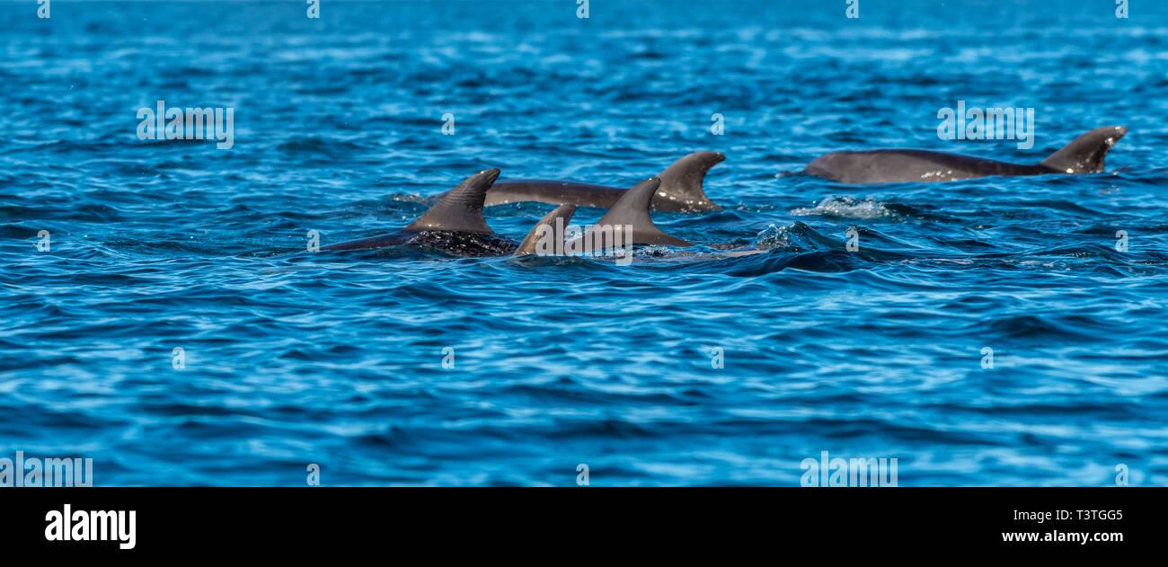 A pod of Bottlenose Dolphins (Tursiops truncatus) off the coast of Baja California, Mexico. Stock Photo