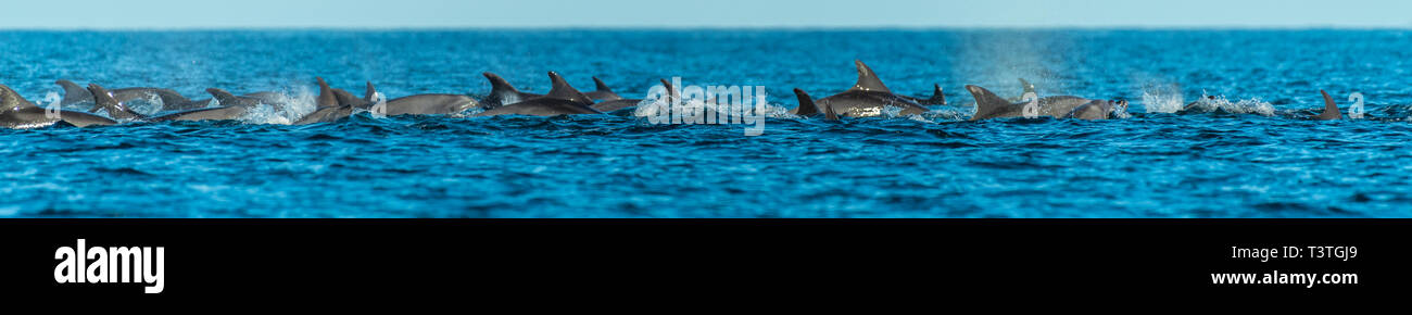 A pod of Bottlenose Dolphins (Tursiops truncatus) off the coast of Baja California, Mexico. - Stock Image