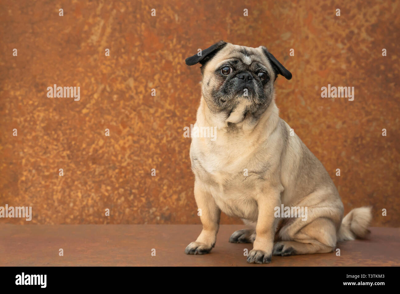 A little pug sits in front of rusty stainless steel. He looks interested with big eyes to a point outside the camera. Lots of copy space. - Stock Image